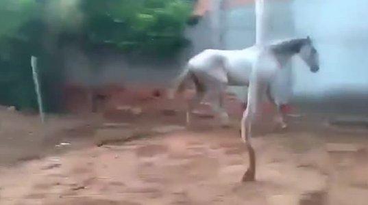 """ცხენის """"ჩაწიხლვა"""" გინახავთ?"""