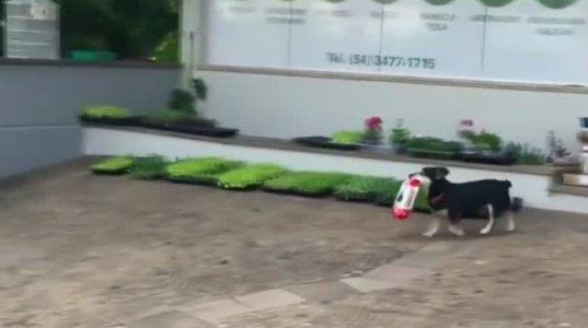 გაიცანით ძაღლი, რომელიც თავად დადის საყიდლებზე
