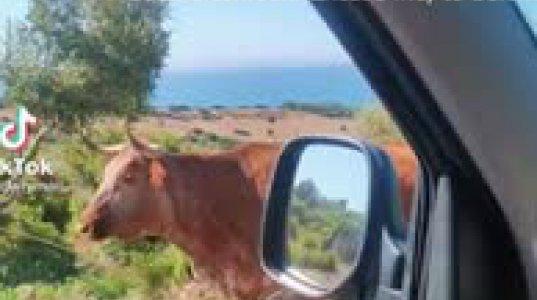 ძროხამ გზა მიასწავლა