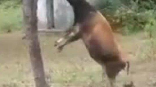ეს ძროხაა თუ კენგურუ